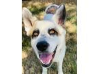 Adopt Moses a White - with Brown or Chocolate Akita / German Shepherd Dog /