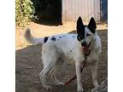 Adopt Yukon a Border Collie, German Shepherd Dog