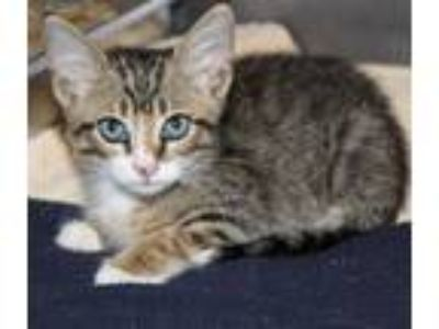 Adopt Bruno a Brown Tabby Domestic Shorthair / Mixed (short coat) cat in Hilton