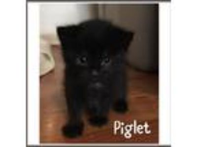 Adopt Piglet a All Black Domestic Shorthair (short coat) cat in Toms River