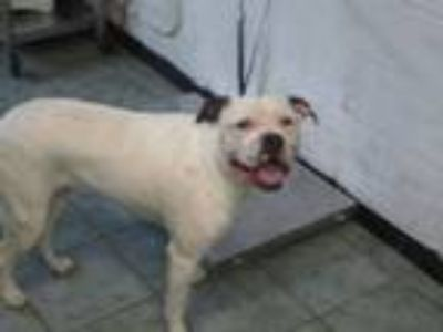 Adopt Mabel a Pit Bull Terrier, Mixed Breed