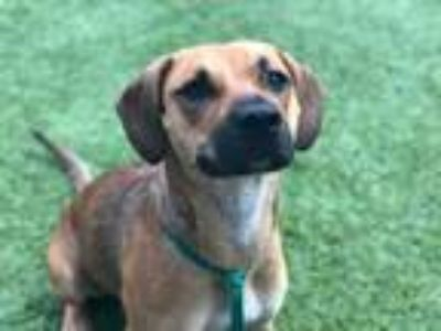 Adopt MELLY a Tan/Yellow/Fawn - with Black Black Mouth Cur / Beagle / Mixed dog