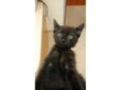 Adopt Hershey a All Black Domestic Shorthair / Mixed cat in Land O'Lakes
