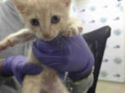 Adopt ROSCO a Orange or Red Tabby Domestic Shorthair / Mixed (short coat) cat in