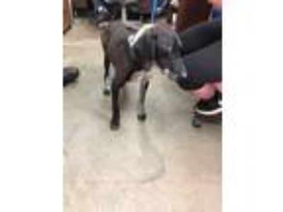 Adopt 14934 a Pointer, Catahoula Leopard Dog