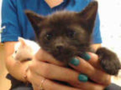 Adopt PENNY a All Black Domestic Shorthair / Mixed (short coat) cat in Doral