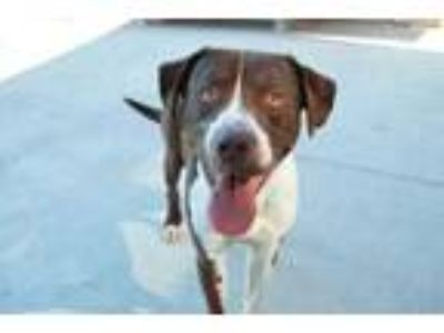 Adopt Hersheys a Brown/Chocolate Pointer / American Pit Bull Terrier / Mixed dog