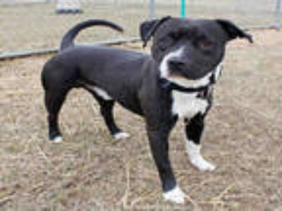 Adopt TURBO a Black - with White American Pit Bull Terrier / Mixed dog in