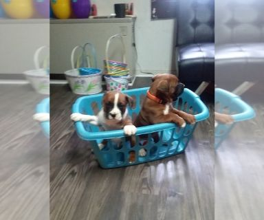 Boxer PUPPY FOR SALE ADN-127601 - boxer puppies