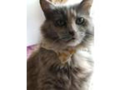 Adopt Bellatina (SLK) 1.26.13 a Dilute Tortoiseshell, Domestic Medium Hair