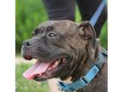 Adopt Catalina a Boxer, Mixed Breed