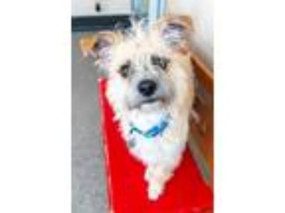 Adopt BON JOVI a Wirehaired Terrier, Terrier