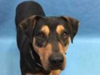 Adopt Elly a Black Rottweiler / Mixed dog in Coon Rapids, MN (25349502)