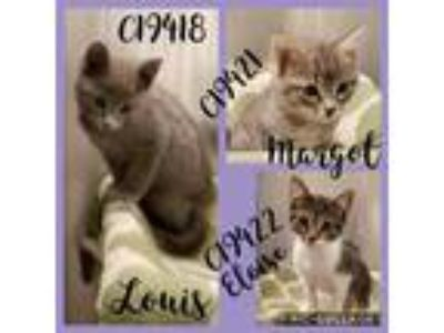 Adopt Cat Cage 14 a Domestic Shorthair / Mixed cat in Greenville, TX (25582567)