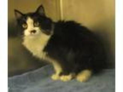 Adopt Brooks a Domestic Longhair / Mixed cat in Golden, CO (25892932)
