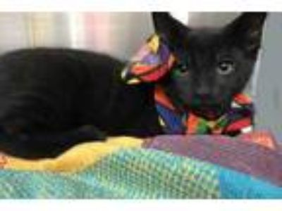 Adopt Bubble a All Black Domestic Shorthair / Domestic Shorthair / Mixed cat in