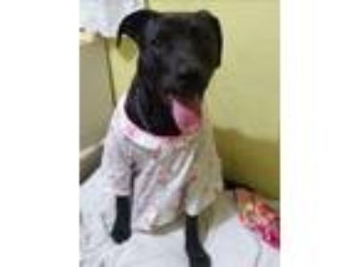 Adopt Lily a Labrador Retriever / Shepherd (Unknown Type) / Mixed dog in Dana