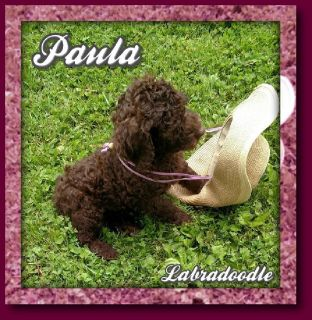 Paula Female CKC Labradoodle