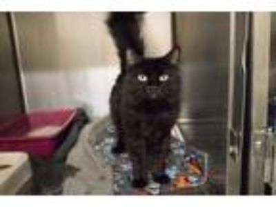 Adopt *GORGEOUS a All Black Domestic Shorthair / Mixed (short coat) cat in