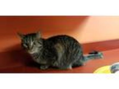 Adopt Kenmore a Domestic Shorthair / Mixed cat in Westmont, IL (25179959)