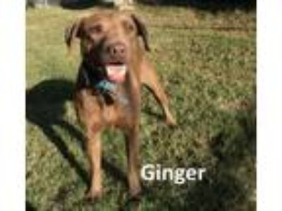 Adopt Ginger a Brown/Chocolate Labrador Retriever / Mixed dog in Mountain View