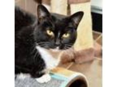Adopt Cookie Bonded Buddy--With Penny a Domestic Short Hair