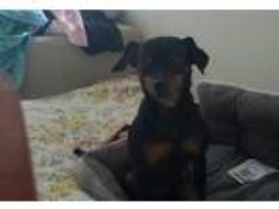 Adopt Zeus a Black - with Tan, Yellow or Fawn Miniature Pinscher / American Pit