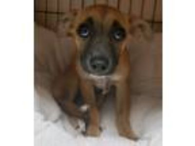 Adopt Piper a Tricolor (Tan/Brown & Black & White) Boxer / Mixed dog in Concord
