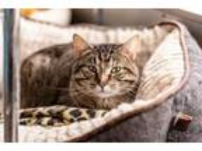Adopt Halley a Brown or Chocolate Domestic Shorthair / Domestic Shorthair /