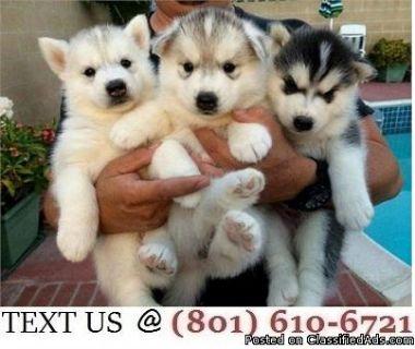 Respectful Alaskan Malamute Puppies Available