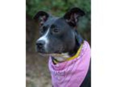 Adopt Jessie a Labrador Retriever, Collie