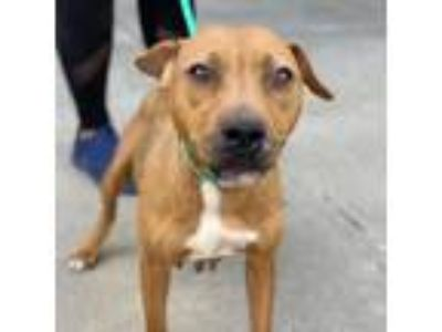 Adopt Nova a Tan/Yellow/Fawn - with White American Pit Bull Terrier / Mixed dog