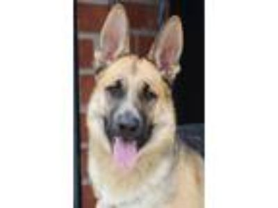 Adopt Curtis von Cottbus a Tricolor (Tan/Brown & Black & White) German Shepherd