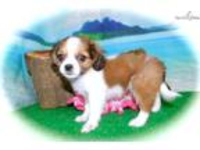 Chicago Cavalier/Shih Tzu. Super Cute.
