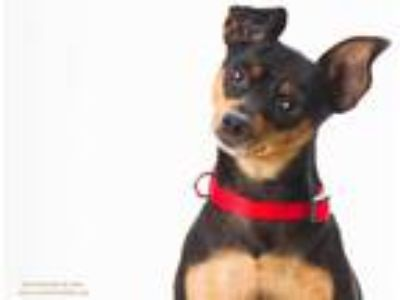 Adopt CHICO a Black - with Tan, Yellow or Fawn Miniature Pinscher / Mixed dog in