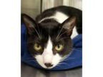 Adopt Adeen a Domestic Shorthair / Mixed (short coat) cat in Corpus Christi