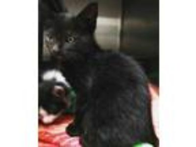 Adopt Drake a All Black Domestic Mediumhair / Domestic Shorthair / Mixed cat in