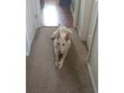 Adopt Izzy a White German Shepherd Dog / Mixed dog in Hoffman Estates
