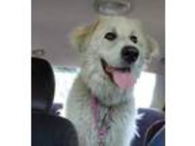 Adopt Micah a White Great Pyrenees / Mixed dog in Huntingdon, PA (25297648)