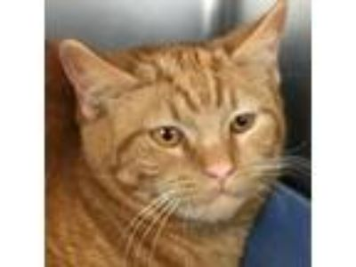 Adopt Apricot a Orange or Red Domestic Shorthair cat in South Haven