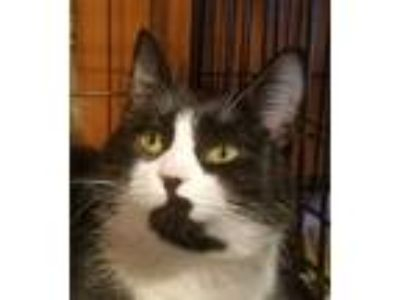Adopt Thor a Domestic Short Hair