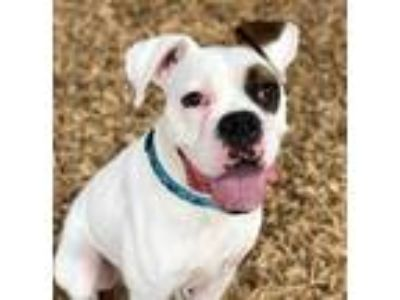 Adopt SARGE a White - with Tan, Yellow or Fawn Boxer / Mixed dog in Tacoma