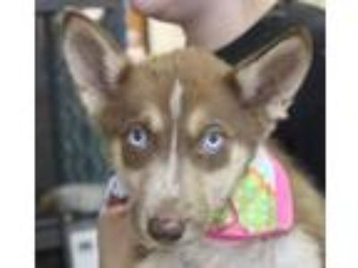 Adopt Breanne a Siberian Husky, Mixed Breed