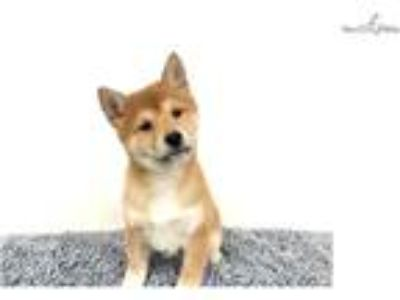 Shiba Inu $1299 (Empire Puppies [phone removed])