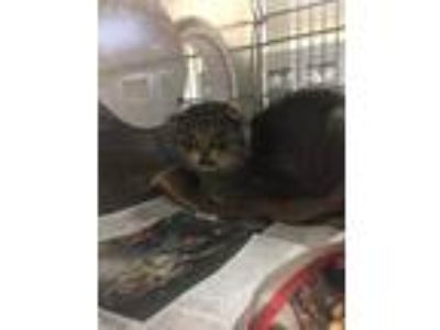 Adopt Mathilda a Domestic Short Hair, Scottish Fold