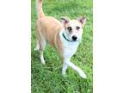 Adopt Abigail a Tan/Yellow/Fawn - with White Shepherd (Unknown Type) / Mixed dog