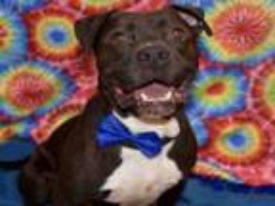 Adopt MARCELO a Staffordshire Bull Terrier, Mixed Breed