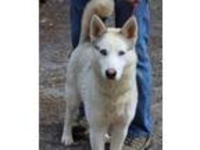 Adopt Cher a White - with Gray or Silver Siberian Husky / Mixed dog in