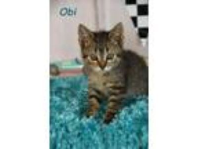 Adopt Obi a Domestic Medium Hair
