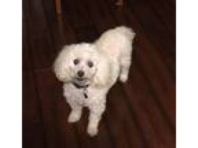 Adopt Bailey a Poodle